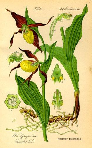 Ilustraciones botánicas antiguas.