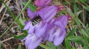 Penstemon fruticosus (foto)