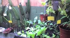 Mosca blanca en mi Huerta 2 parte