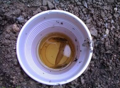 Trampa de cerveza para babosas. Imagen tomada de la web