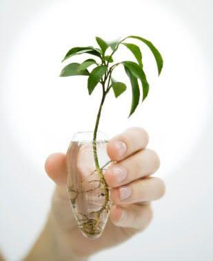 Planta sembrada en un recipiente con agua.