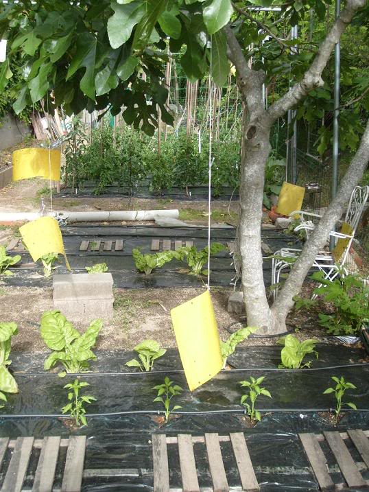 Imagen tomada de la web donde se muestran los papeles amarillos que atraen los insectos, en especial la mosca blanca.