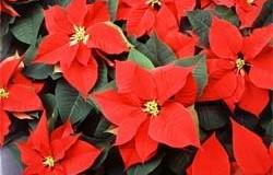 Mitos y leyendas de plantas utilizadas en la decoración navideña (lll parte)