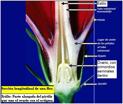 Sección longitudinal de una flor