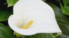 Flor hembra macho o ambos: Inflorescencia tipo espádice