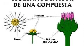 Flores hembra, macho o ambas: flores compuestas
