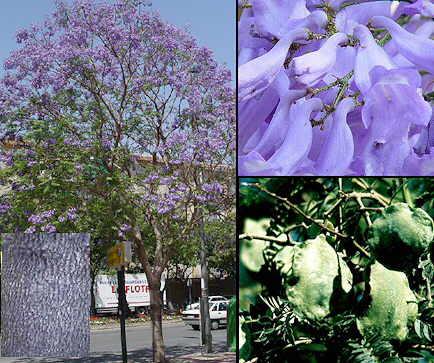 Aromas naturales, los jacaranda