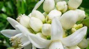 Aromas naturales, Azahar