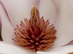 Aroma natural, la Magnolia