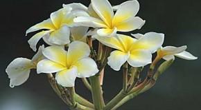 Aromas naturales, el frangipani