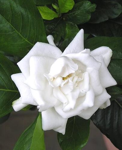 Aromas naturales, la gardenia