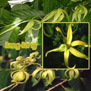 Ilang-ilang de la familia de Annonaceae