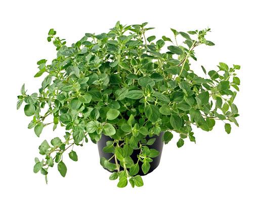 El oregano, planta que crece en cualquier clima y terreno.