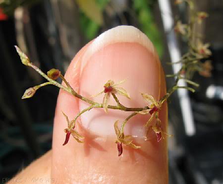 Orquidea de la especie Platystele