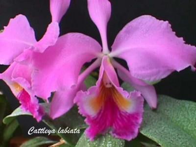 Significado de las abreviaciones en los nombres de las orquídeas.