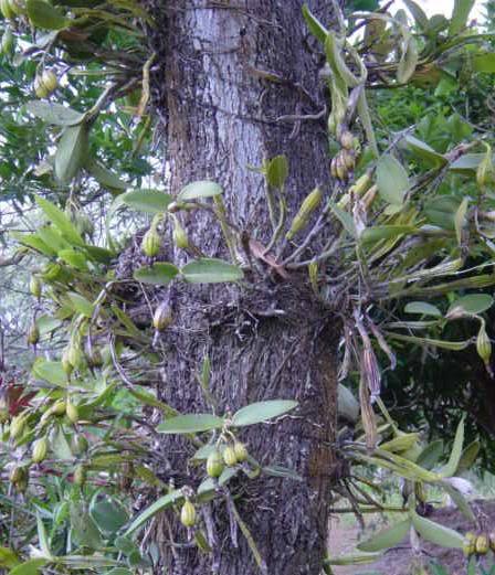 orquídeas parásitas de un árbol que debe tener micorrizas para tener el ambiente de reproducirse