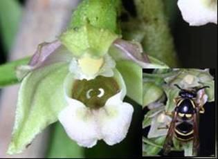 Una especie de orquídea que se hace pasar por abeja, que vive en la isla china de Hainan engaña al avispón que la poliniza al emitir un componente químico que las abejas utilizan para enviar una señal de alarma.