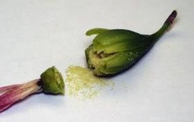 Capsula abierta wur muestra las semilla