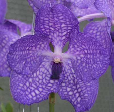 orquidea vandas, de clima caliente