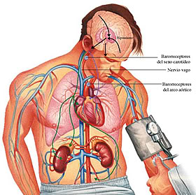 Como influye positivamente la ingesta del jugo noni en el hipertenso