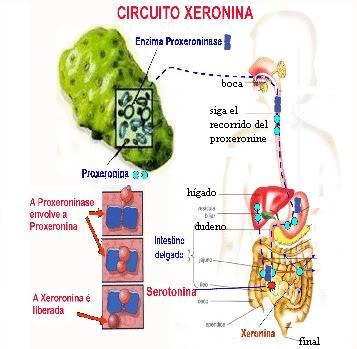 Camino que recorre el proxeronine para procesarse en elintestino delgado.